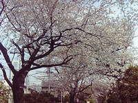 玉川上水の桜並木